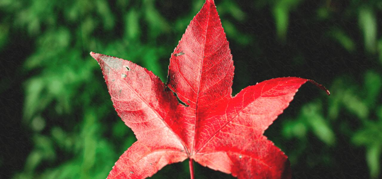 カナダのメイプルの葉