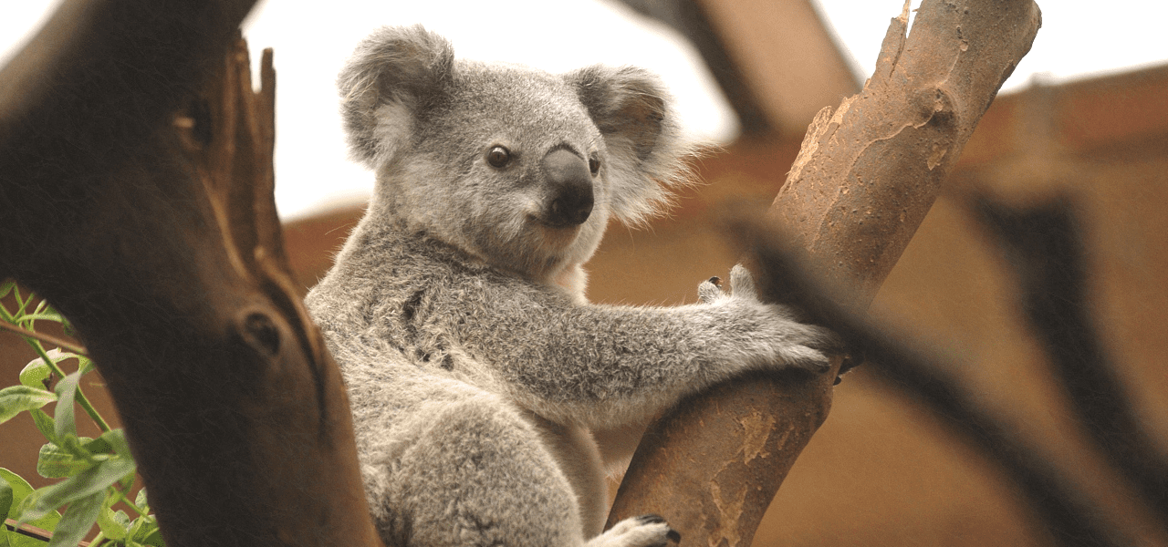 コアラが木にしがみついている様子