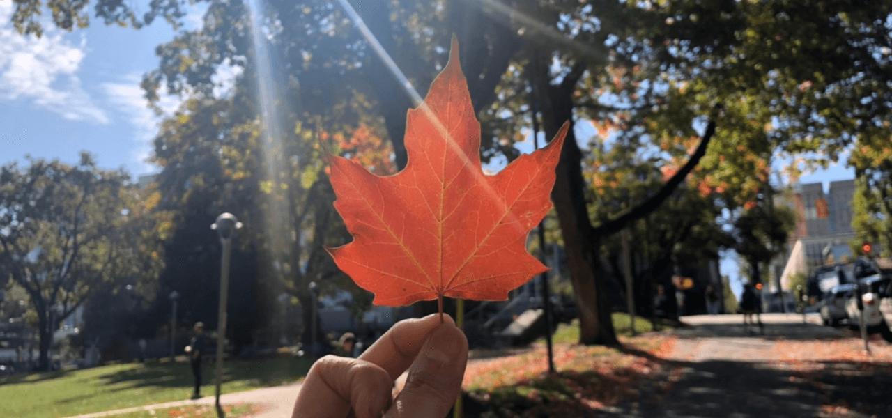 カナダメープルの写真