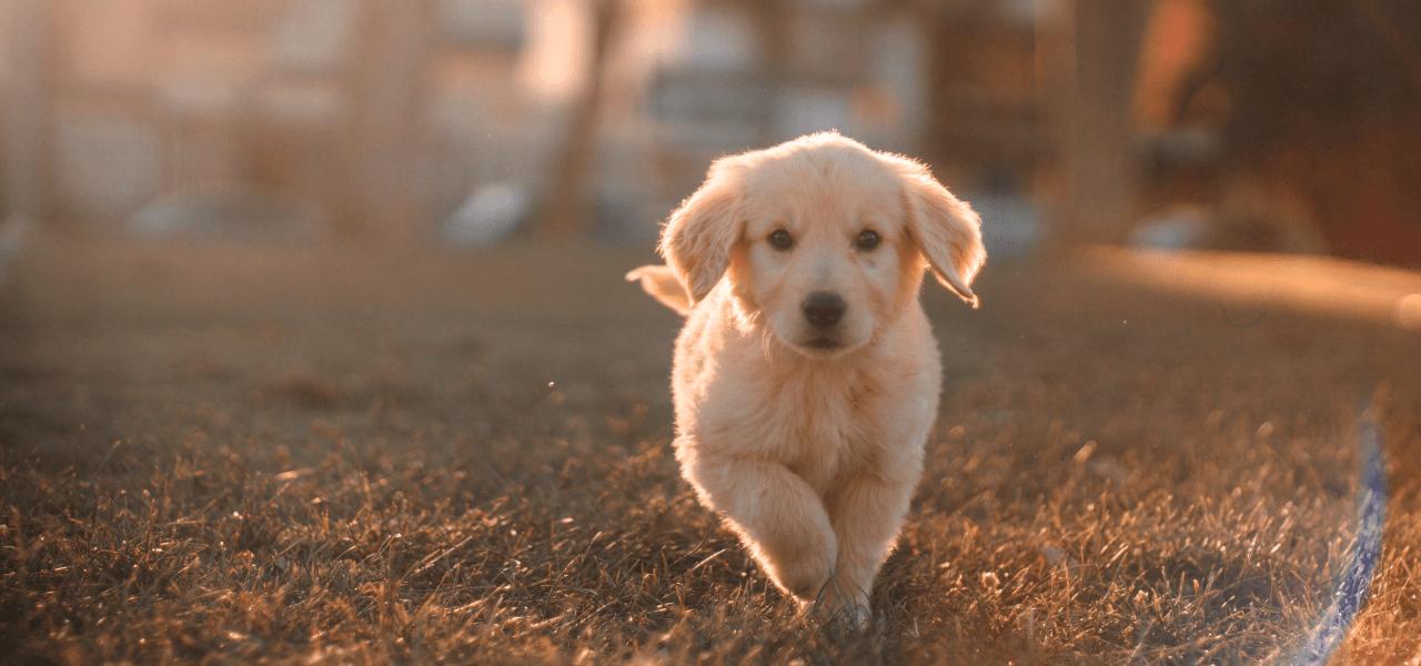 こちら向きに走ってくる子犬