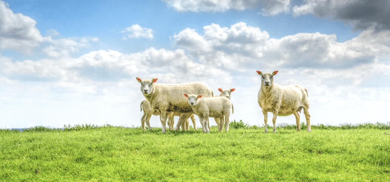 大自然の中にいる羊たち