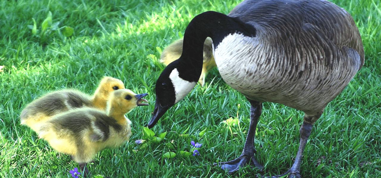 子供たちを育てる鳥